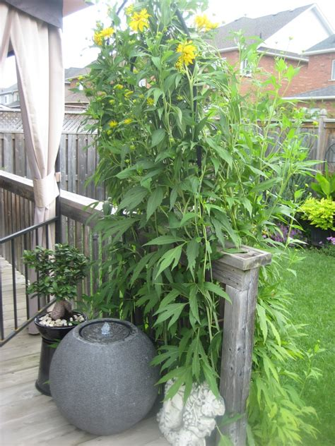 7 Foot Tall Bushy Plant With 2-3 Inch Yellow Flowers