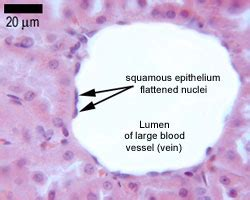 Epithelia: The Histology Guide